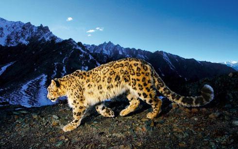 Snow Leopard Prowl Consejos para tomar mejores fotografías