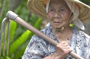 (Los habitantes de Okinawa están acostumbrados a trabajar hasta edades muy avanzadas, y a cosechar sus propios alimentos)