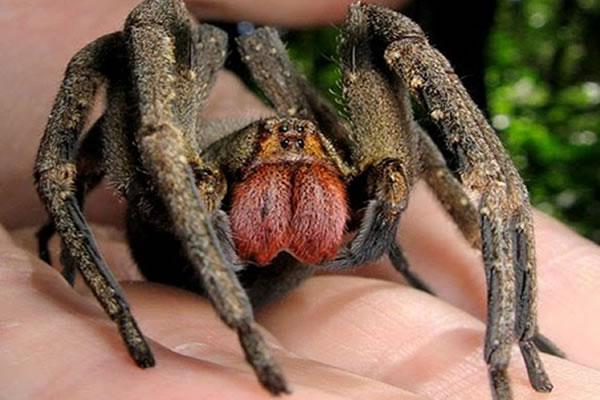Picadura de Araña más efectiva que el Viagra, (Ahora anda a que te pique una Araña) 1