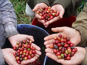 Un estudio da la respuesta a ¿Cómo sería la vida sin café? 1