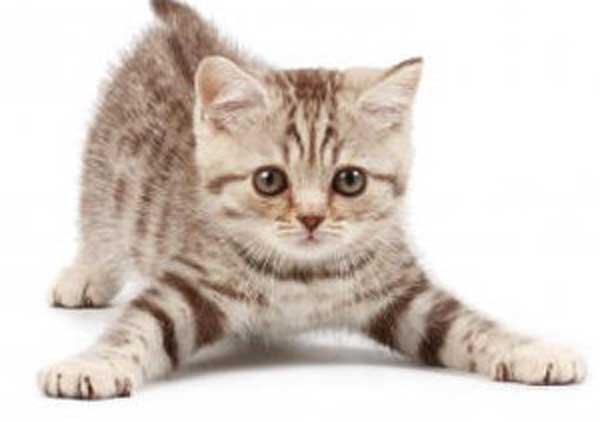 Las mejores razas de gatos para compañía en casa 5