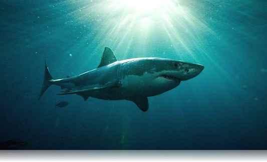 tiburones curiosidades