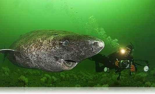 tiburon-groenladia-4