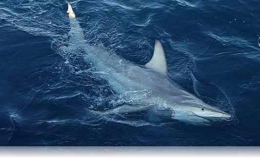 tiburon-hibrido-7