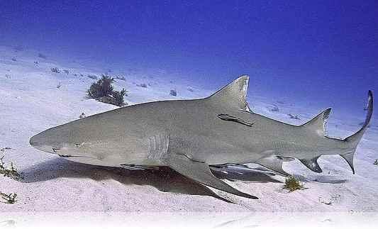 tiburon-limon-6
