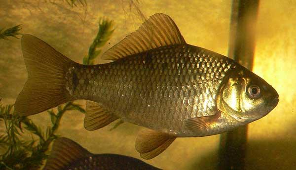 pez dorado variedades