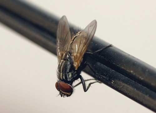 Qué ocurre cuando una mosca se posa sobre tu comida