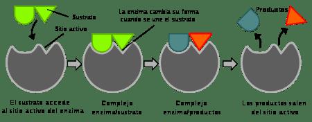 Photo of La importancia de las ENZIMAS y Sol
