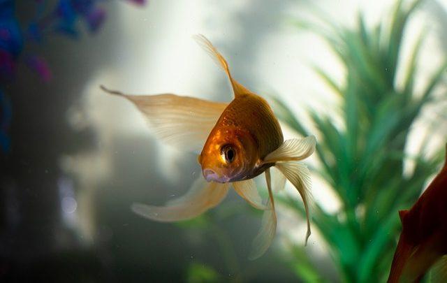pez goldfish o dorado