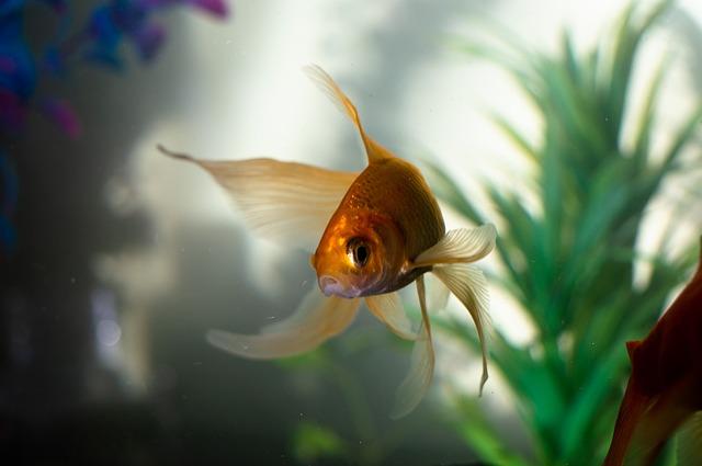 goldfish mas comun es el de color naranja