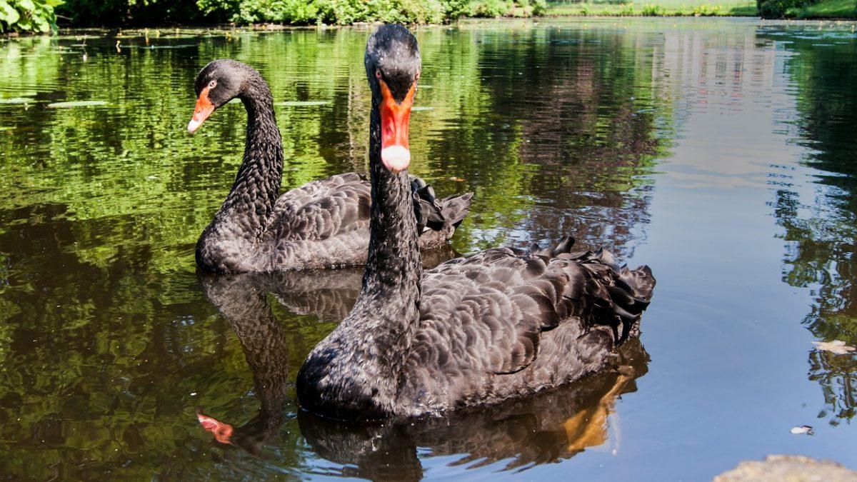 Qué es un evento Cisne Negro