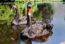 Photo of La teoría o el evento del Cisne Negro