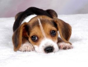 Los mejores Perros para niños, sus pros y contras y Cómo elegir la raza de perro más apropiada para ti 8