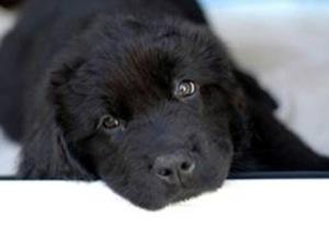 Los mejores Perros para niños, sus pros y contras y Cómo elegir la raza de perro más apropiada para ti 6
